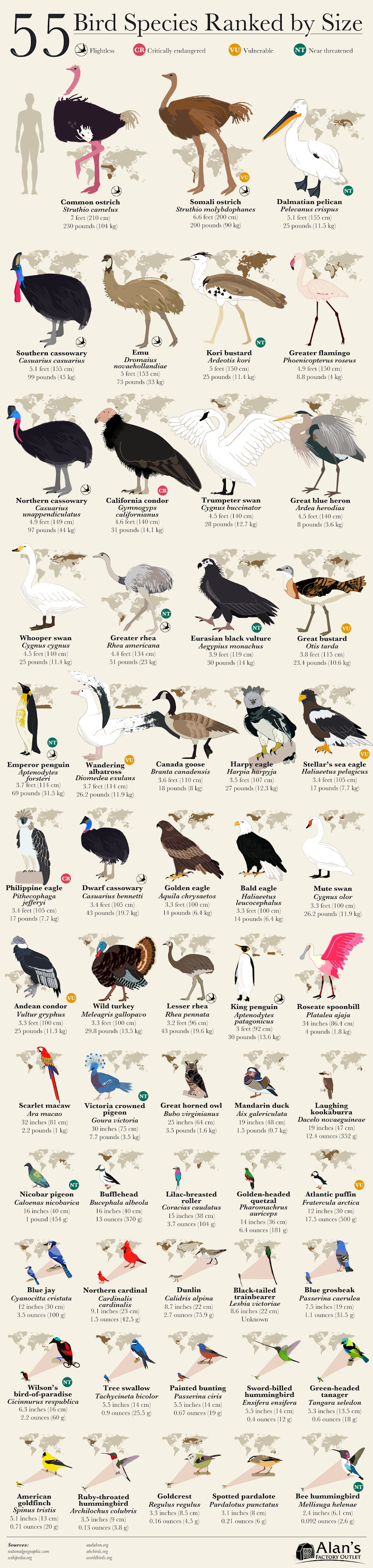 55 Bird Species Ranked by Size #infographic #Animals #infographics #Birds #Infographic #Bird