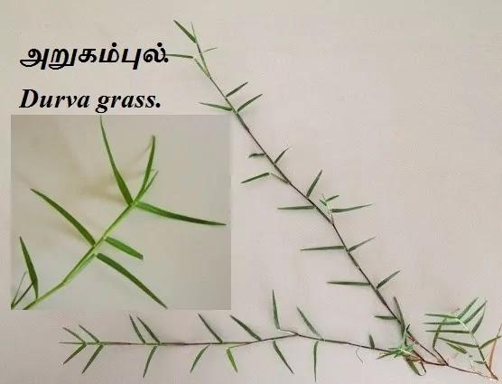 அறுகம்புல் - Arugampul - Durva grass - Cynodon daclylon.