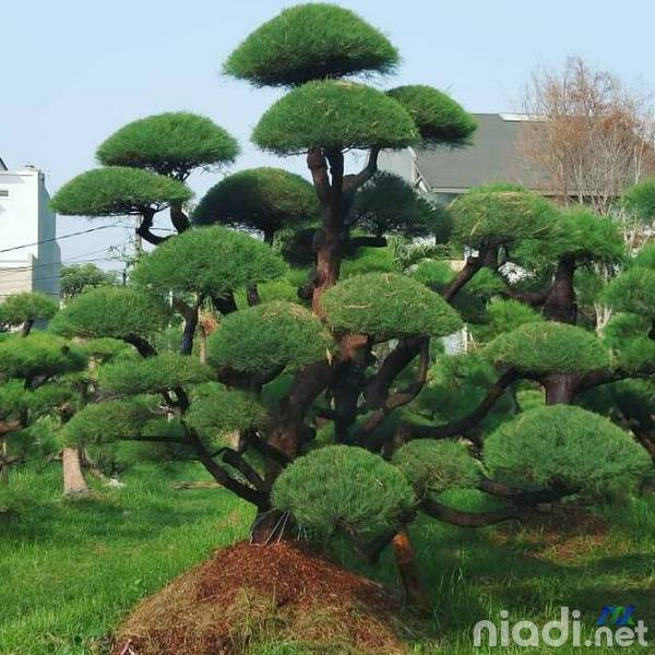 macam-macam tanaman hias pohon cemara