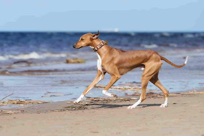Fastest dog breeds, Fastest dog in the world