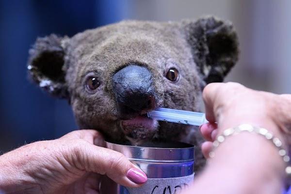 RIP, Ellenborough Lewis: Koala Dies After Viral Bushfire Rescue