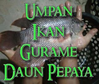 mancing ikan gurame besar mengunakan daun pepaya atau keladi ✓
