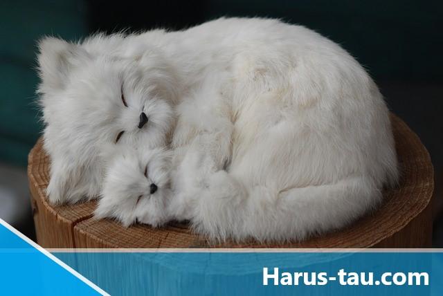 Kucing Persia Medium Bulu Kapas