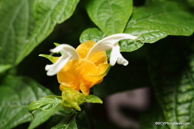 Justicia Brandegeeana - Golden Shrimp flower detail