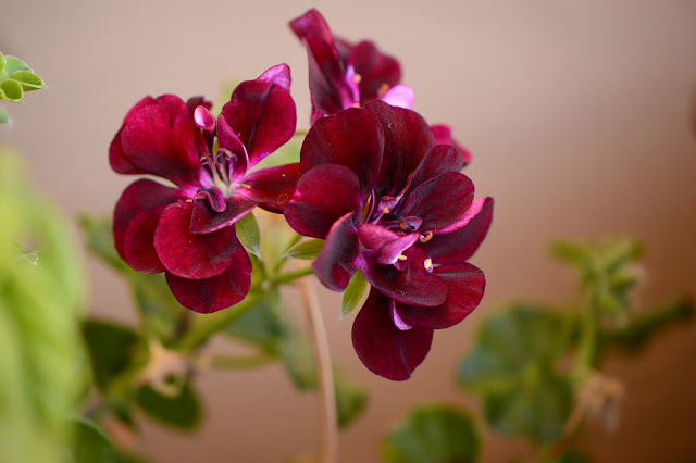 garden bloggers bloom day, gbbd, desert garden, february, small sunny garden, amy myers, pelargonium, precision