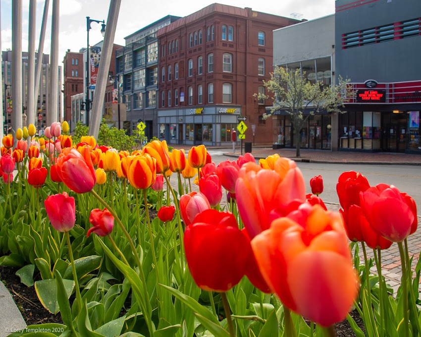 Portland, Maine USA May 2020 photo by Corey Templeton. A bountiful field of tulips on Congress Street.