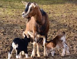 Goat farming.ooo