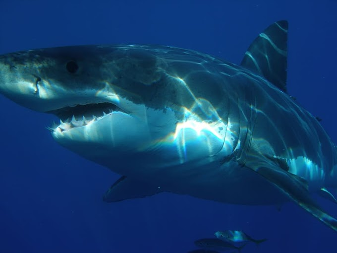 100 Shark Facts You Can Sink Your Teeth Into