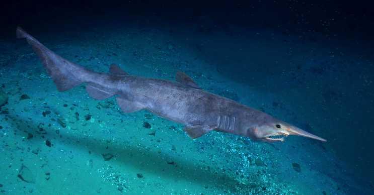 Goblin köpek balığı korkutucu görünür ve derin denizlerde yaşayan en tehlikeli canlıdır.