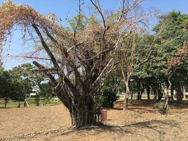 清水岩溫泉露營區樹木染褐根病 進行樹癌防治及移除