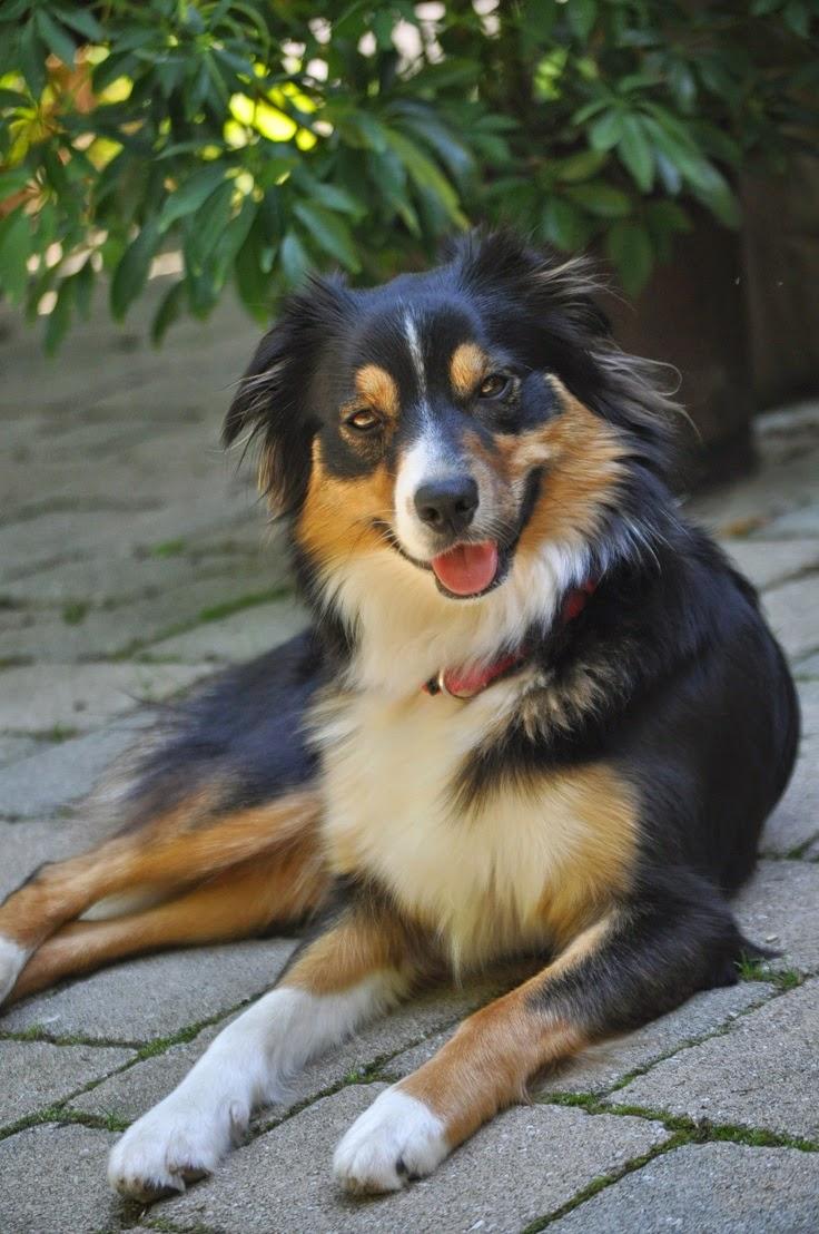 Cute Best Australian Shepherd Tri Black