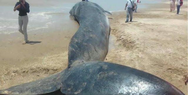 Aparece una criatura marina gigante en playa de El Mojan en el estado Zulia