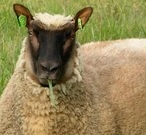 Clun Forest Sheep Origin, Characteristics, Milk, Wool & Meat Quality