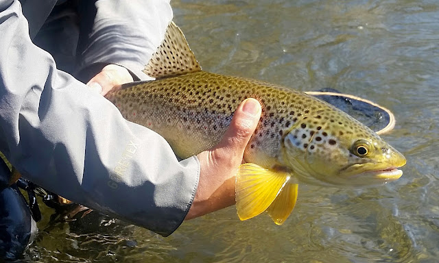 Big, beautiful, buttery brown trout caught on an hendrickson dry fly. Delaware River