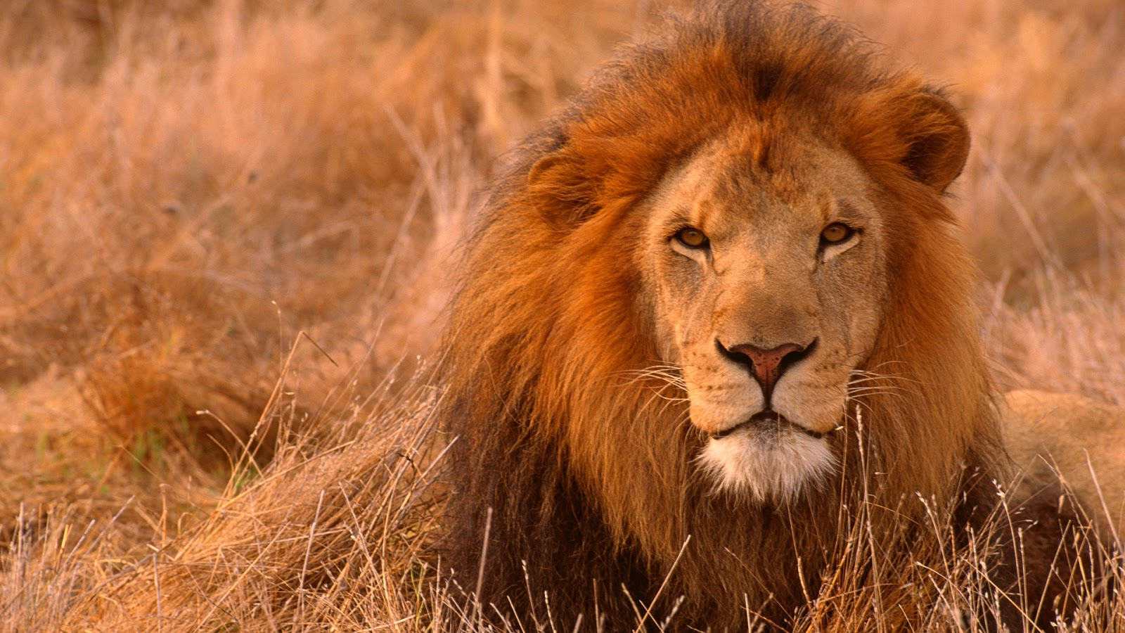 Lion HD Wallpapers Free Pictures Download Photos - HD ...