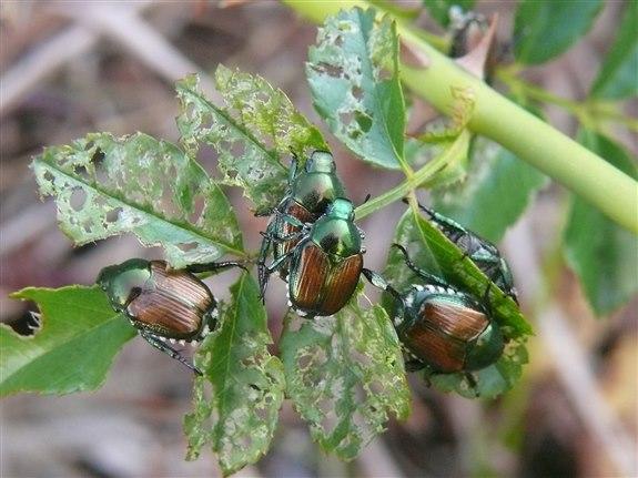 Japon böceği - J hayvan
