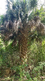 Sabal palmetto (cabbage palm) tree leaves new orleans louisiana tropical
