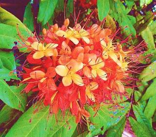 ashoka tree flower
