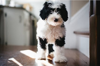 Mini Sheepadoodle Growth