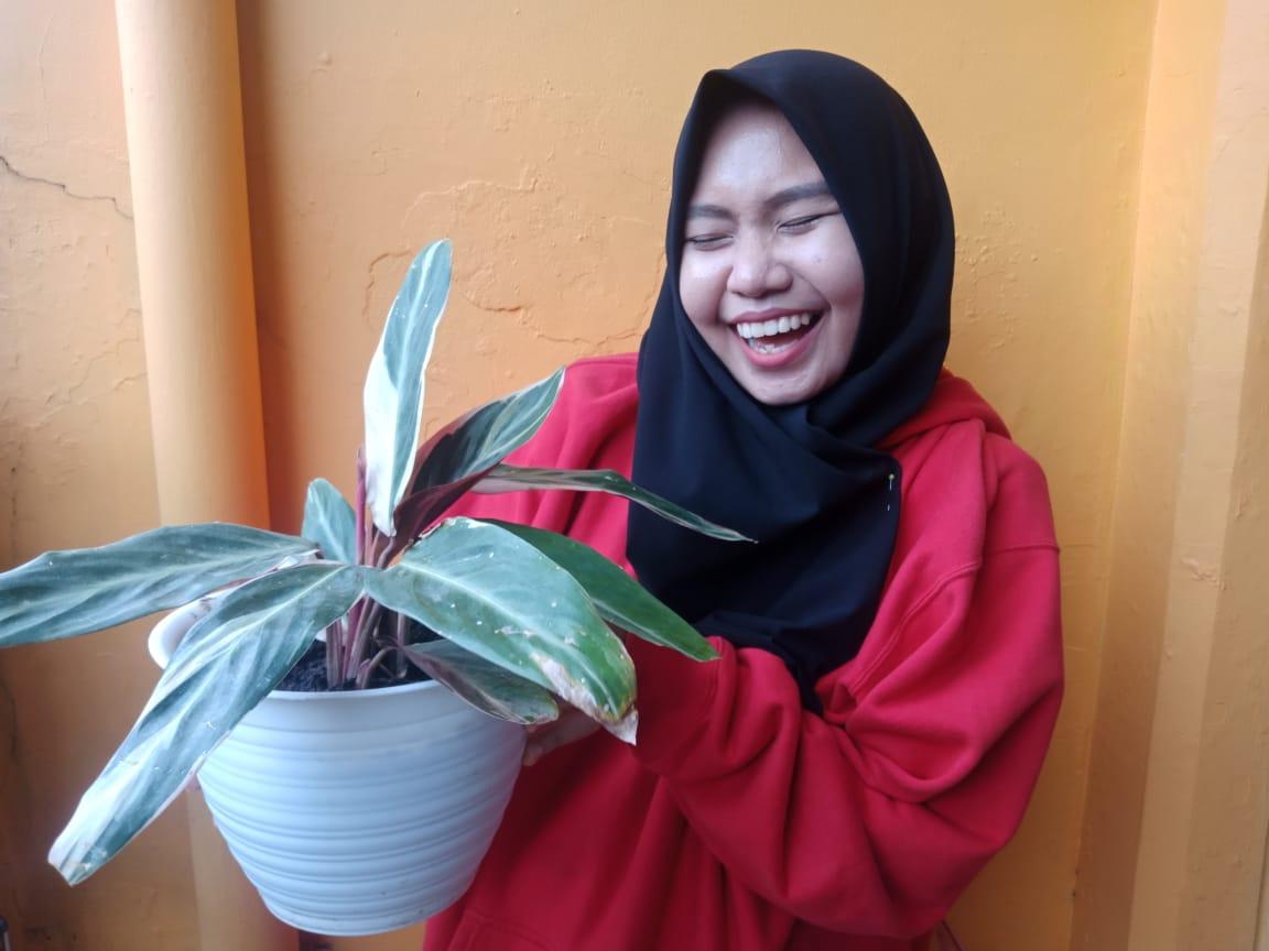 calathea tricolor, tanaman hias indonesia