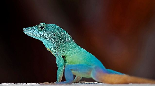Colorful Pet Lizards Mystery Solved & M...