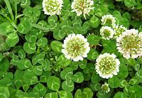 Beyaz çiçekli üç yapraklı tirfil bitkisi ya da yabani yonca