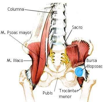 músculos y tendones del área de la ingle