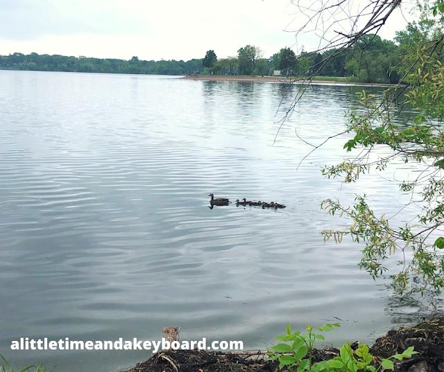 A duck family crossing Lake Bde Maka Ska.