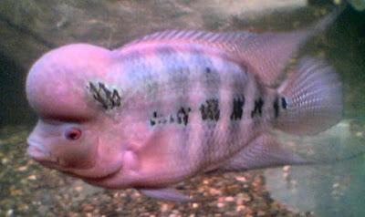 Ini dia sejarah ikan louhan