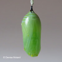 Monarch chrysalis after 2:30 hours - © Denise Motard