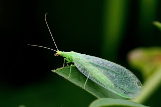 Green lacewing on a leaf.