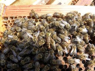 انتاج السائل المنوي لذكور النحل