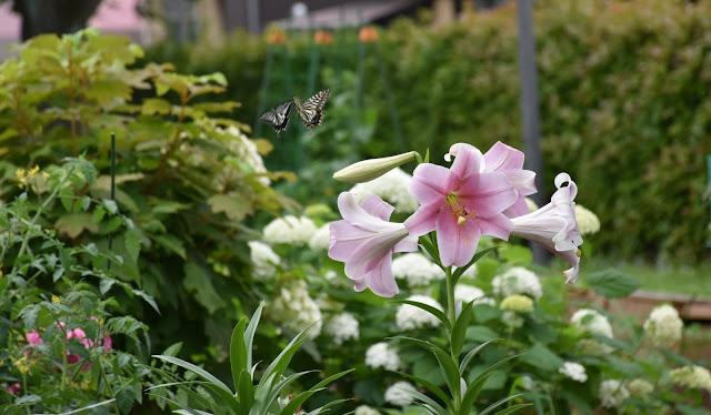 ユリの花とアゲハのつがい