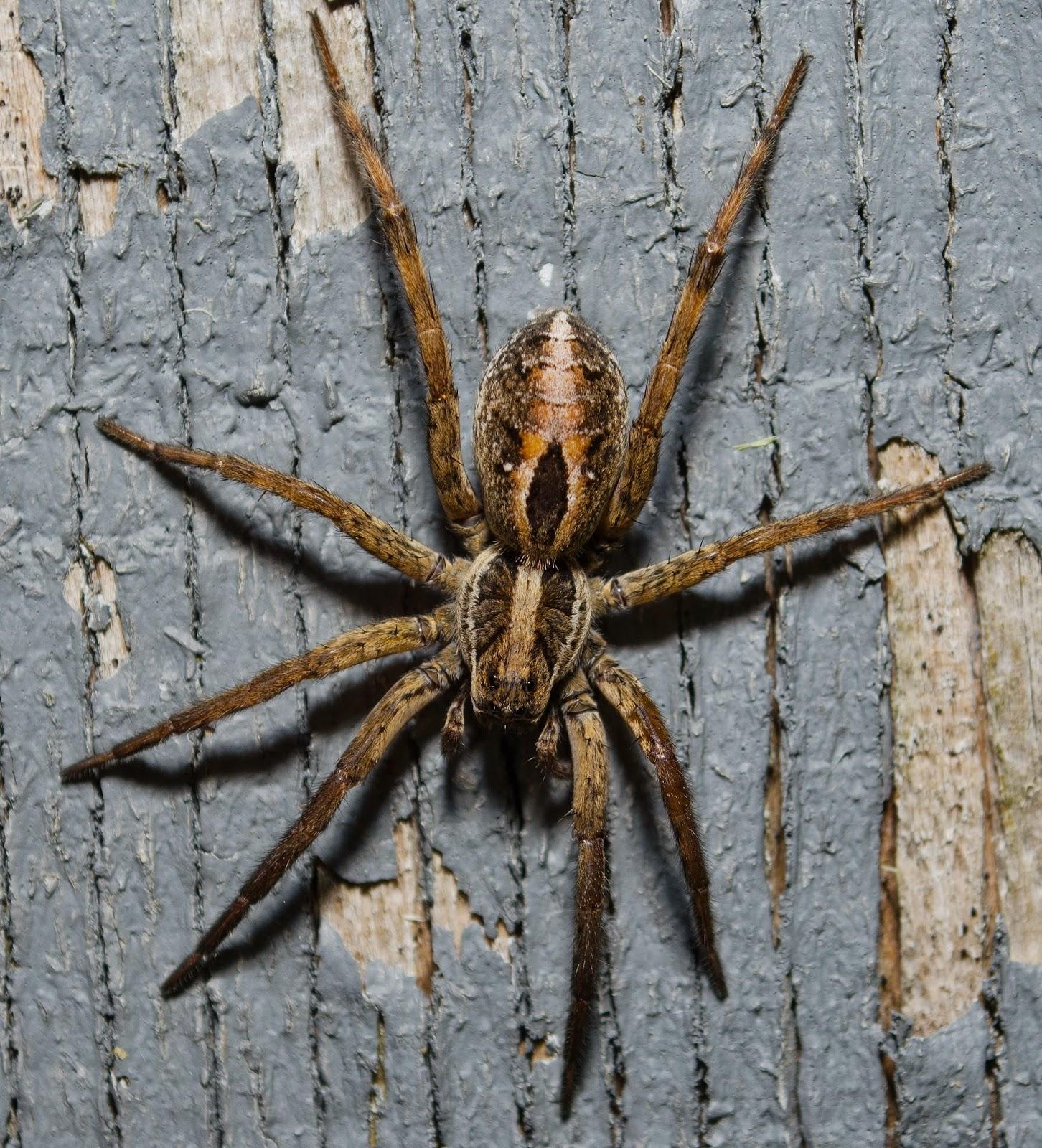 Wolf Spider Schizocosa