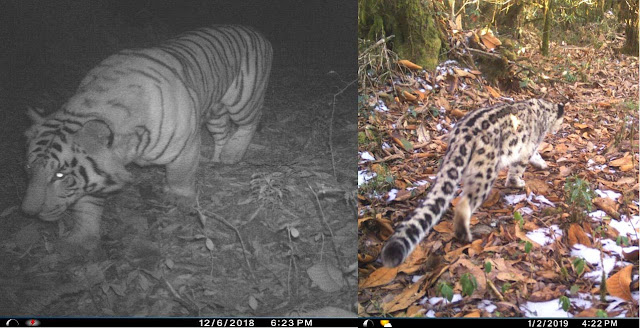 Royal Bengal Tiger and Snow leopard spotted in North Sikkim