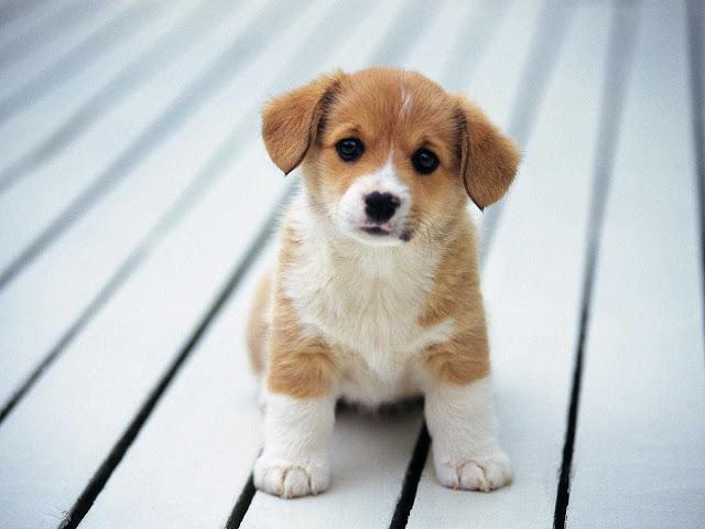 baby puppy wallpaper