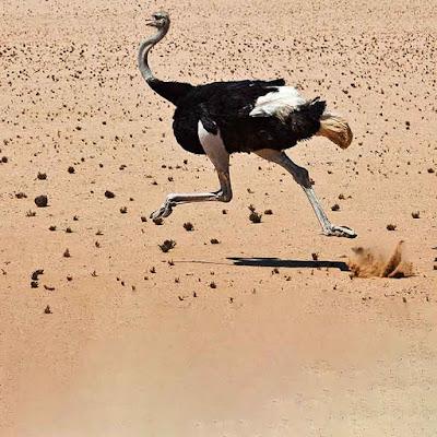صورة نعامة تركض تجرى