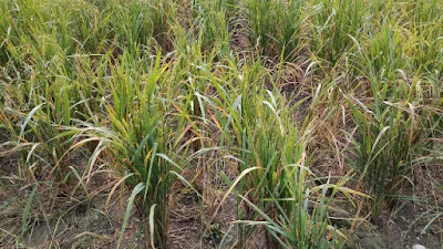 paddy field images
