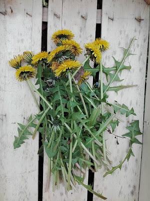Raccogliere nell'orto erbe da seccare: tarassaco