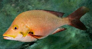 langkah mancing ikan kakap merah, langkah memancing ikan kakap, umpan pancing ikan kakap merah, Panduan Trick Mancing Ikan Kakap tepat, Tehnik Mancing Ikan Kakap Merah, rahasia umpan, Ikan Kakap Merah, resep umpan,