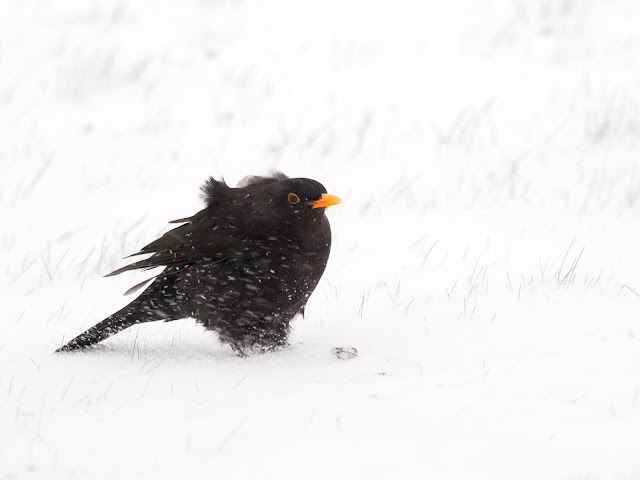 Amsel im Schneesturm