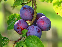 The Benefits of Plums For Health
