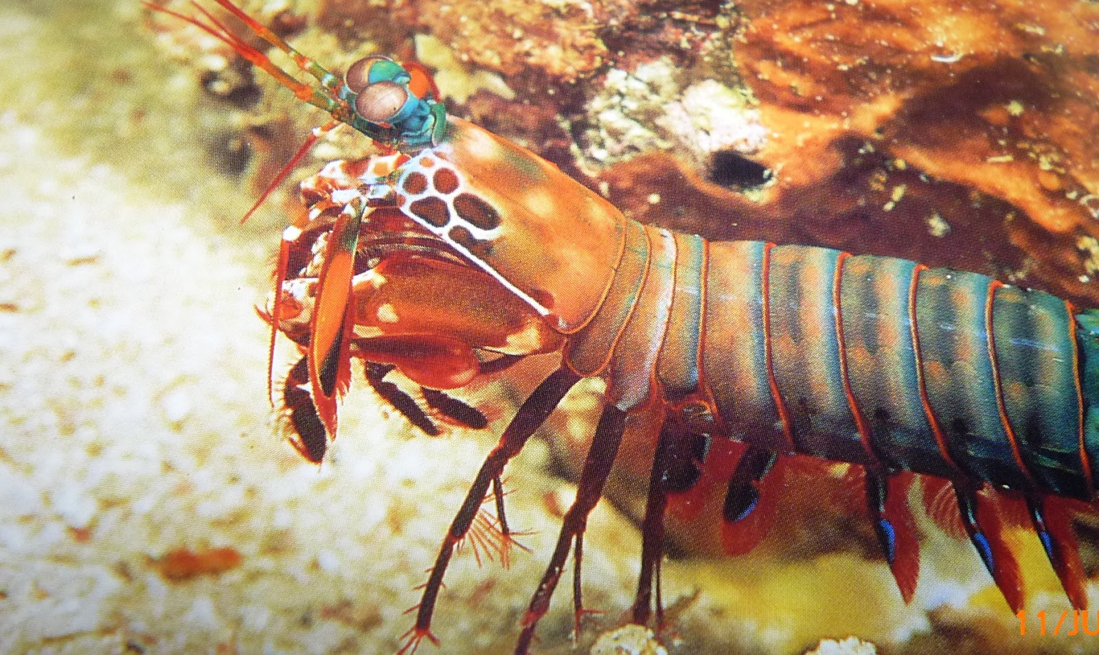 mantis shrimp essay chicago