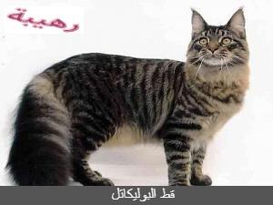 قط البوليكاتل