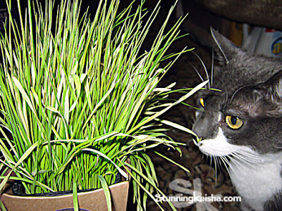 6 Reasons Your Cat Needs #PetGrass #ad