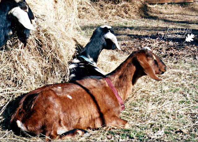 Goats napping in the sun