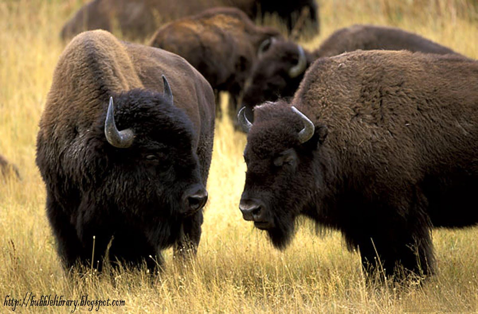 Home Decor Elephants World All Animals American Bison