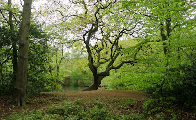 A large tree in a clearing by a pond in Epping Forest, England