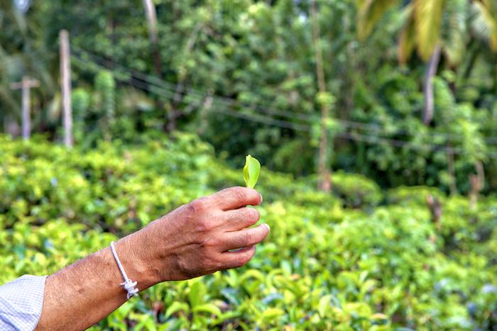 Cejlon, Cejlon najlepsza herbata, herbata na Sri Lance, Podróże,