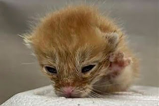 Baby kitten ready for adoption at NYC pound suddenly euthanized